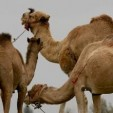 Camels similar to those given to King Mswati by President al-Gaddafi